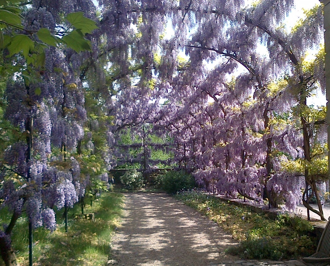 a garden. A staked tunnel, covered in wisteria