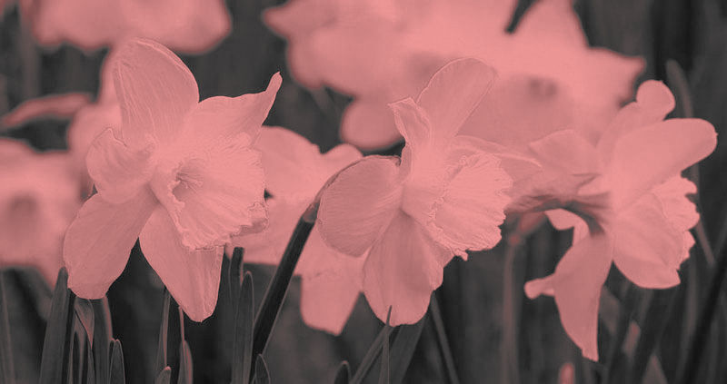photograph showing daffodils. ;the photo has been altered to make the flowers appear pink