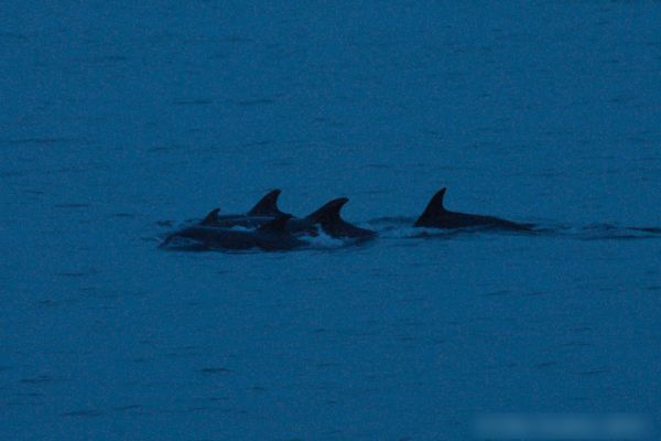 Photograph of a pod of Bottlenose Dolphins